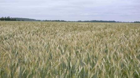 Champs de blé français