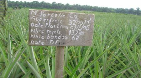 Information sur une parcelle d'ananas équitable